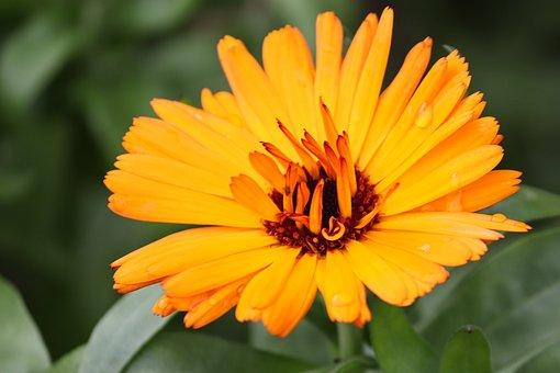 Marigold, Calendula Suffruticosa