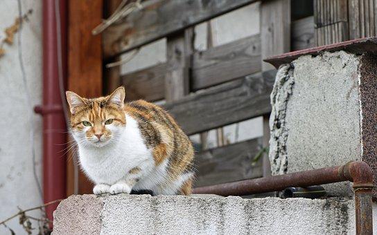 Cat, Pet, Domestic, Feline, Fur, White, Pete, Colored