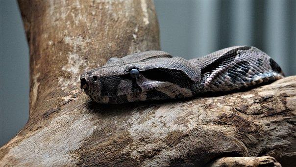 Snake, Reptile, Close Up, Animal, Scale, Creature