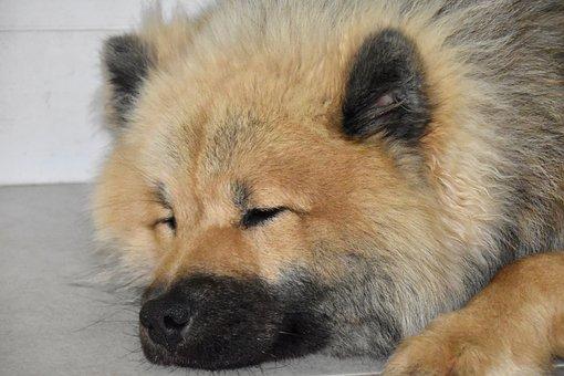 Dog, Dog Eurasier, Dog To Sleep, Dog With Black Mask