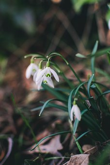 Snowdrop, Plant, Early Spring, Signs Of Spring