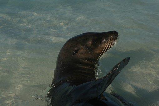 Galapagos, Seal, Ecuador, Mammal, Marine, Wildlife