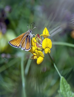 Essex-skipper, Butterfly, Wings, Insect, Nature, Summer
