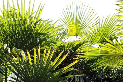 Fan Palm, Garden, Plant, Palm, Houseplant, Lichtspiel