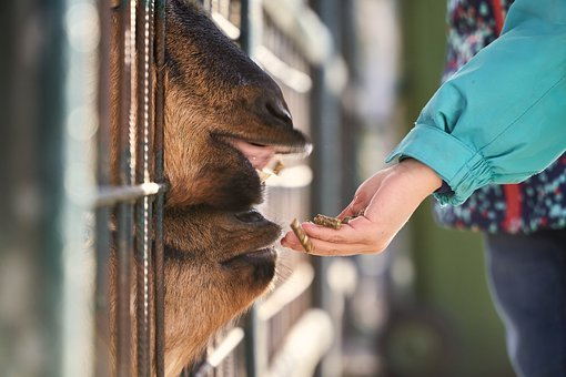 Goat, Feeding, Feed, Child, Hand