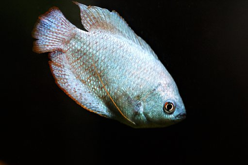 Gourami, Stunted, Male, Aquarium, Fishy