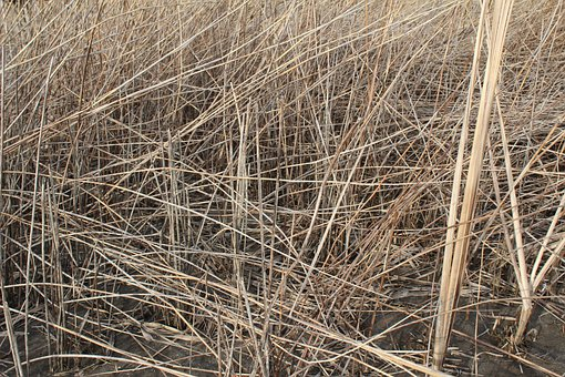 Dry, Grass, Nature, Sedge, Spring, Flora