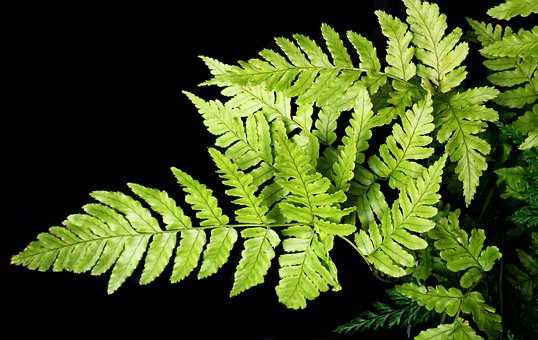 Fern, Leaves, Fronds, Foliage, Green, Plant, Growth