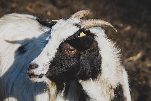 Goat, Animal, Horns, Domestic Goat, Animal World