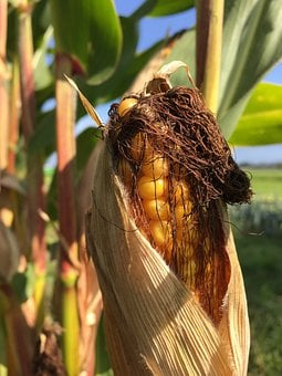 Plant, Corn On The Cob, Corn, Grains
