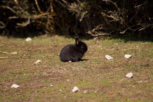 Black, Rabbit, Habitat