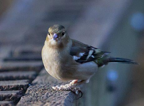 Female Chaffinch, Diseased Feet, Chaffinch, Ill