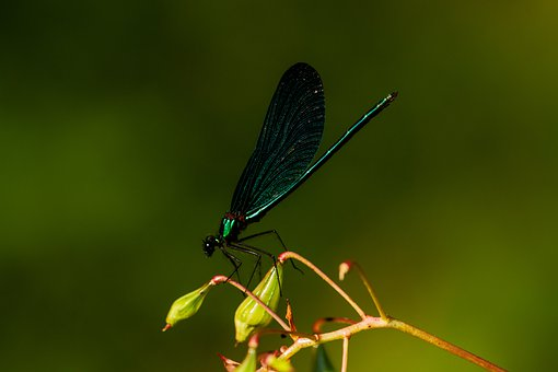Nature, Demoiselle, Insect, Flight Insect, Macro, Wing