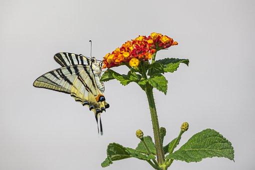 Scarce Swallowtail, Iphiclides Podalirius, Greece