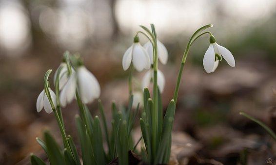 Snowflake, Snowdrop, Leucojum Vernum, Spring, Macro