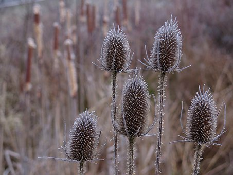 Card, Thistle, Prickly, Close Up, Nature