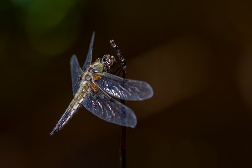 Nature, Dragonfly, Insect, Macro, Wing, Animal World