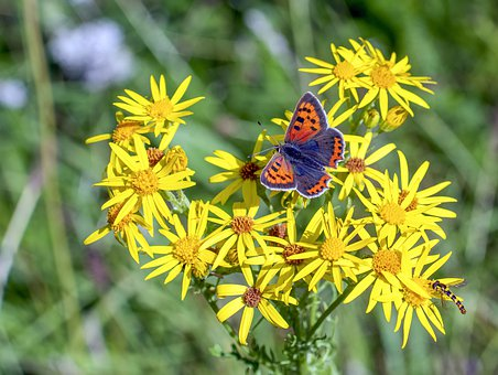 Small-copper, Butterfly, Wings, Antenna, Nature, Insect