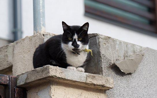 Cat, The Collar, Fur, Black, White, Pet