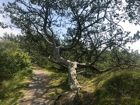 Pine, Tree, Landscape, Nature, Conifer, Aesthetic