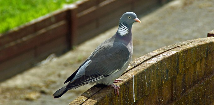 Pigeon, Wild, Forest, Proud To Be, Babu, Beak, Plume