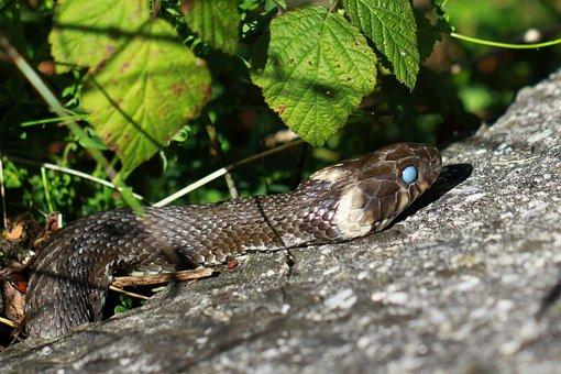Nature, Snake, Reptile, Animal, Grass Snake, Close Up