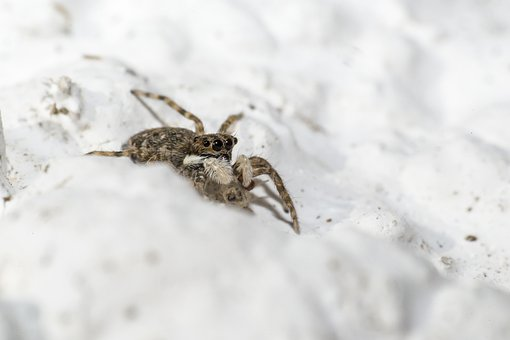 Jumping Spider, Salticus Scenicus, Zebra Spider, Blurry