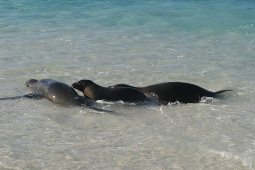 Galapagos, Seals, Seal, Mammal, Marine, Beach, Wildlife