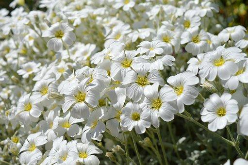 Stone Herb, Cushion Flower, White