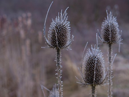 Card, Thistle, Prickly, Close Up, Nature, Plant, Spur