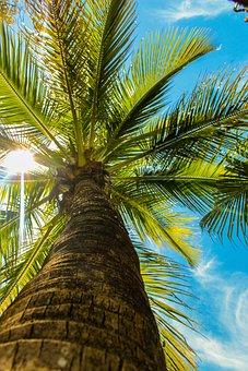 Coconut Tree, Tree, Nature, Tropical