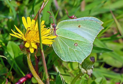 Brimstone-Butterfly, Wings, Camouflage