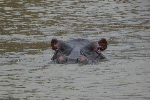 Hippopotamus, Hippo, Animal, Nature, Water, Africa
