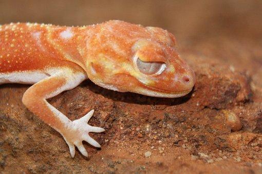 Gecko, Lizard, Reptile, Animal, Australia, Scale