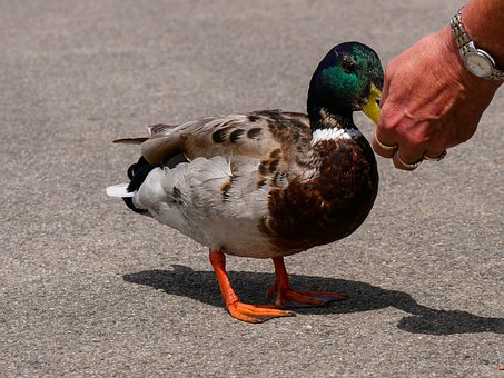 Animal World, Duck, Drake, Bird, Water Bird, Male, Bill