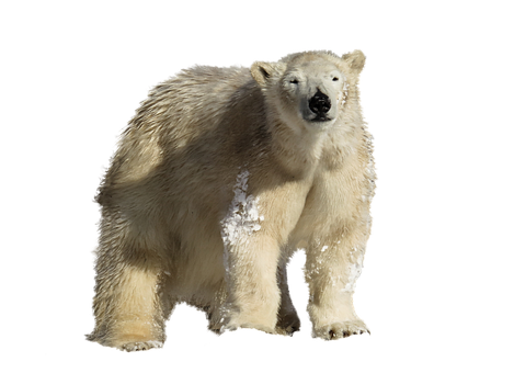 Polar Bear, Predator, Isolated, Climate Change, Arctic