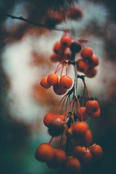 Rowan, Berries, Rowan Berries, Red, Autumn, Berry