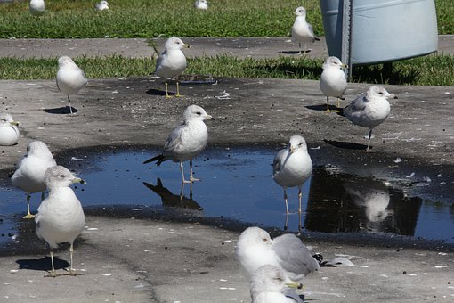 Bird, Pigeon, Reflection, Water, Puddle