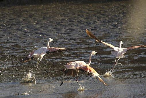 Flamenco Austral, Flamenco, Birds