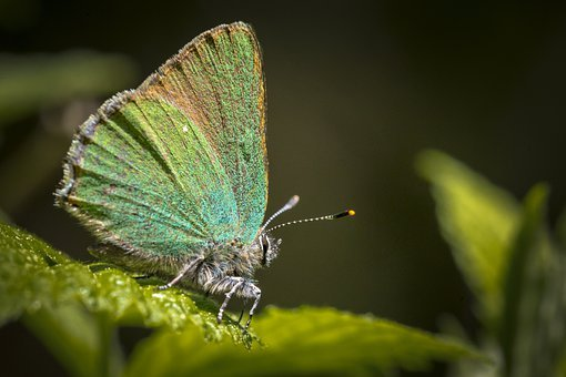 Green Hairstreak, Callophrys Rubi, Butterfly