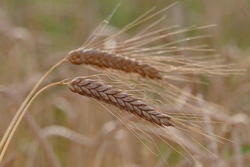 Barley, Cereals, Hordeum Vulgare