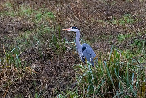 Blue Heron, Grey Heron, Heron, Closeup