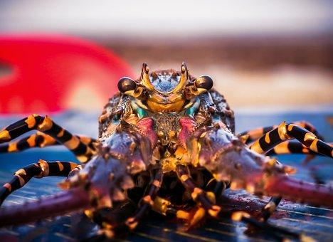Lobster, Fish, Seafood, Crab, Food, Fishing, Shrimp