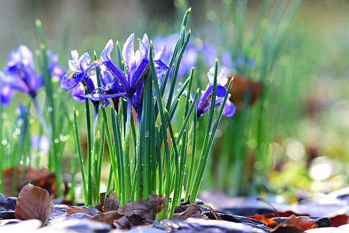 Nettled Iris, Spring Flower, Plant, Early Bloomer