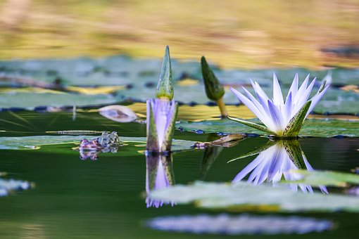 Aquatic Plant, Water Lily, Flower, Blossom, Bloom