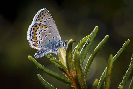 Common Blue, Meadow, Flowerbed, Lepidoptera
