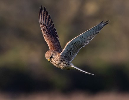 Kestrel, Hunting, Flying, Raptor, Nature