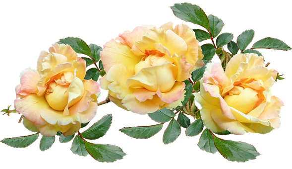 Roses, Yellow, Flowers, Fragrant, Plant