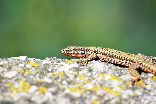 Lizard, Nature, Reptile, Animal, Animal World, Green