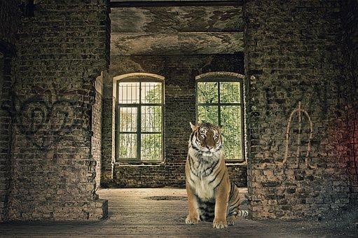 Tiger, Animal, Feline, House, Abandoned House, India
